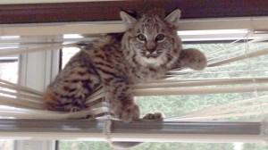 news-bobcat