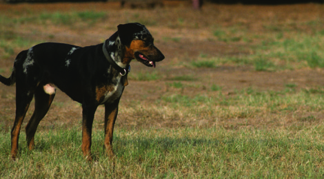 Catahoula  — Blood-Tracking Deer Dog