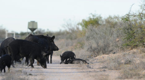 OUT OF CONTROL TEXAS SWINE