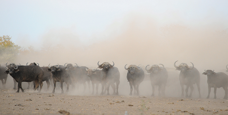 Memories of Buffalo in the Lowveld