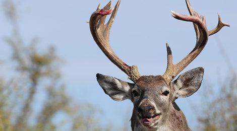 Deer Survival