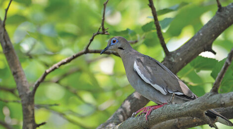 DOVE DUO — Mourning & Whitewing